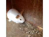 Male lionhead unneutered 6 months old - URGENT RE-HOMING NEEDED
