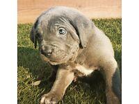 Stunning Cane corso puppys