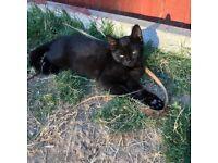 1 Female part Siamese kitten for sale