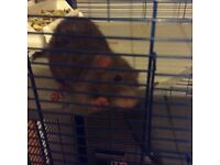 Free to good home 2 tame male rats 1yr old with cage
