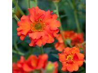 geum mrs bradshaw plant red/ orange flower cottage garden perennial