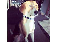 Beagle x Foxhound
