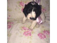 Loving adorable cockerpoo baby 5 girls and 2 boys 6 weeks old looking for loving homes