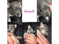 5 adorable chihuahua's