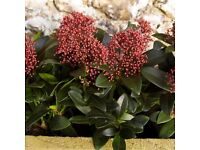 Skimmia Japonica 6 strong and healthy plants, 15cm pot