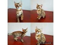 Bengal female TICA registered kitten