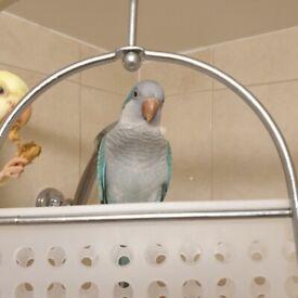 Missing Blue Quaker Parrot
