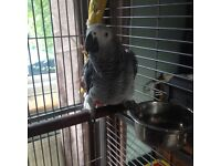 African grey parrot,male.