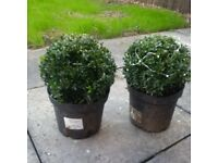 2 x 20cm Box Ball Plant Buxus Potted Evergreen Shrub Topiary for Outdoors