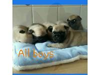 fawn pug pups only 3 left deposits being taken