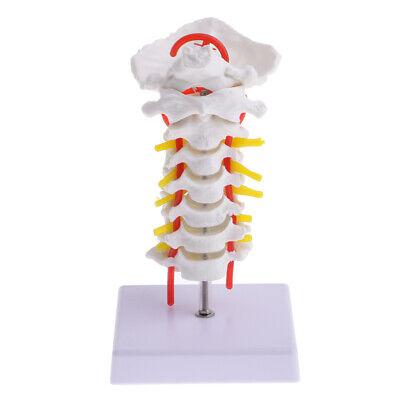 11 Human Cervical Vertebra Carotid Artery Spine Model Medical Study Wbase