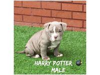 🇺🇸 Pocket bully pups 🇺🇸