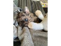 Merle french bulldog male