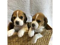 KC Reg Pedigree Beagle Puppies