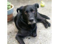 Friendly Labrador cross needs new home ASAP