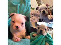KC registered Boston terrier pups