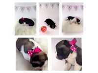 Gorgeous Akita pups ready for new homes