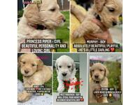Apricot Goldendoodle puppies - ready for forever homes on 9th July
