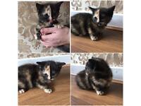 Beautiful half and half face kitten