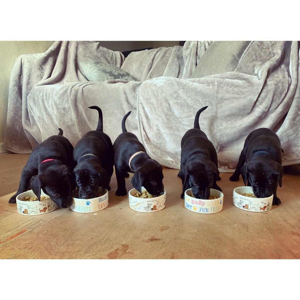 Chunky charcoal Labrador lambaraner puppies