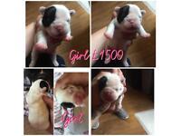 French bulldog pups kc reg