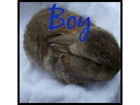 Lovely mini lop babies