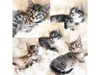 😍💖Beautiful kittens ready now 8 weeks old💖😍