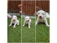 Staffy x English bull terrier pups