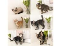 Beautiful Outstanding Kittens Ready now 8 weeks old