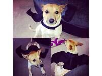 Jack Russell cross terrier