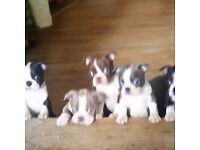 Boston terrier puppies. Registered multicoloured litter. Insured. Chipped. 1st inoculation. Males