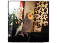 RE ADVERTISED! Free to a good home, a Grey/white cockateil with large cage.