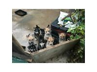 Husky Collie mix Puppies