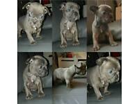 Kc French bulldogs