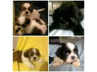 SHIH TZU PUPPIES BOYS AND GIRLS READY NOW