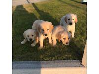 Goldador Puppies For Sale
