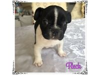 **NEW!** 3 Beautiful 11 Week French Bulldog Puppies For Sale!