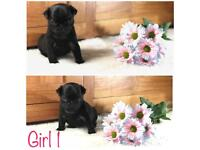 Gorgeous litter of Full Pug Puppies available. KC Reg with papers. Girls + Boy available.😁