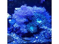 Coral pulsing Xenia & flower Anemone