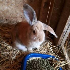 Rabbit for sal