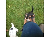 Stunning jack Russell puppies 8weeks old