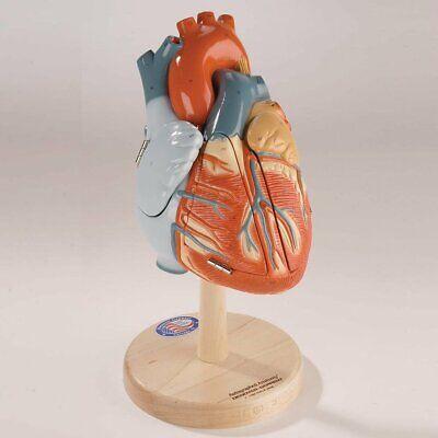 Denoyer Geppert Heart Of American Anatomical Model Anatomy