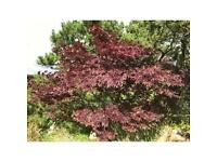 Acer Tree for Sale