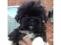2 male Lhasa apso pups. 10weeks old all ready to go