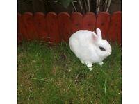 Netherland Dwarf hotot rabbit 3 months old.