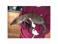 CB15 Roughneck Monitor Lizard