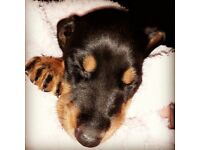 Beautiful doberman puppies ready now great champion blood line