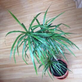 2 house plants: Ficus benjamina and indoor palm (100 cm high)