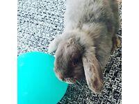 Bunny (Lops)
