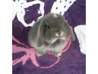 stunning very friendly mini lops ready to reserve